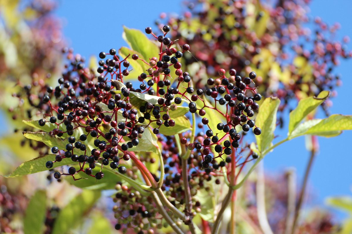 What's an Elderberry?